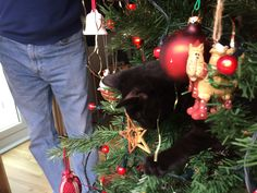 10 things that are near impossible if you have 2 crazy kittens.Number I say more? Tuxedo Kitten, Number 10, Crazy Cats, Christmas Bulbs, Kittens, Holiday Decor, Cute Kittens, Baby Cats, Kitty Cats