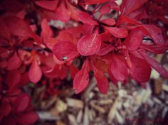 late barberry