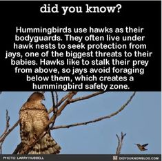 Hummingbirds use hawks as their bodyguards. They often live under hawk nests to seek protection from jays, one of the biggest threats to their babies. Hawks like to stalk their prey from above, so jays avoid foraging below them, which creates a. Love Birds, Beautiful Birds, Animals Beautiful, Cute Animals, Beautiful Creatures, Alpacas, The More You Know, Did You Know, Wtf Fun Facts