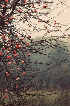 Lovely Clusters - Beautiful Shops: apples orchard landscape photography Fine Art Photograph canvas gallery wrap office decor home decor