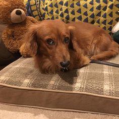 日曜日から具合が悪かったルークですが、おかげさまで元気になりました✨。具合の悪いときとは表情が違って、いい顔をしてくれています😊🐶💕(2016.8.18) #ダックスフンド #ダックス #愛犬 #室内犬 #相棒 #llbeanpets #犬用ベッド #ドッグベッド #dogbed #dachs #dachshund