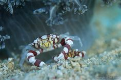 Mactan, Cebu, Philippines Shrimp And Lobster, Saltwater Tank, Portraits, Tide Pools, Abstract Nature, Seahorses, Cutest Animals, Underwater World, Crabs