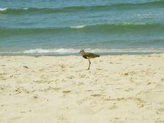 Quero-Quero Bird - Maresias Beach, Brazil - by Lauren Muzzin