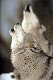 Timber Wolf Stock