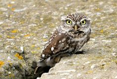 little Spotted Owl <3