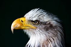 Photograph by JAMIE KING Flickr | Facebook | Instagram   In this beautiful portrait by Jamie King, we see a bald eagle (Haliaeetus leucocephalus), a bird of prey found in North America. Did yo...