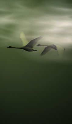 "Swans ~ ""In-Flight."""