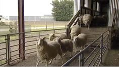 Sheep breeding and biodiversity - Dr David Scobie explains how the wide range of sheep genotypes and breeds in New Zealand make it unlikely that sheep biodiversity will be affected by breeding easy care sheep traits onto existing breeds. Selective Breeding, Sheep Breeds, Homesteading, New Zealand, David, Range, Horses, Easy, Animals