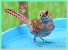 A young red cardinal enjoying the bird bath.