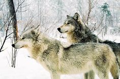 I'm told from the Loki wolf clan