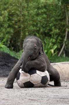 Funny baby elephant pictures and elephant jokes. Wouldn't you love to be a baby elephant playing in the water? See our funny elephant pictures