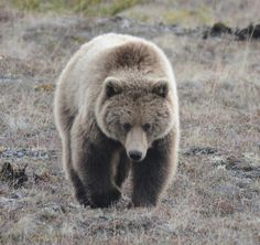 Grizzly bear viewed from the Dempster Highway: a Drive to the Arctic Coast of Canada