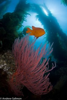 California kelp forest, red gorgonian plant and orange garibaldi fish