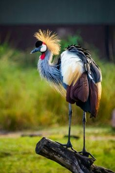 Grey crowned crane of the crane family Gruidae. It occurs in the dry savannah in Africa, south of the Sahara, although it nests in somewhat wetter habitats. Pretty Birds, Beautiful Birds, Animals Beautiful, Cute Animals, Kinds Of Birds, All Birds, Love Birds, Angry Birds, Exotic Birds