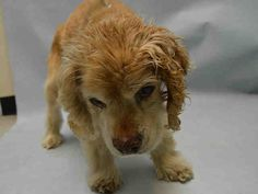 SUPER URGENT 12 YRS OLD!** MAX – A1097913 -OWNER SURR-  MALE, TAN, COCKER SPAN MIX, 12 yrs OWNER SUR – EVALUATE, NO HOLD Reason PET HEALTH