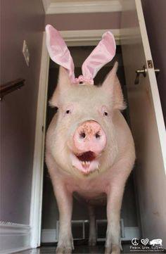 Esther the wonder pig!! Love this pig❤️