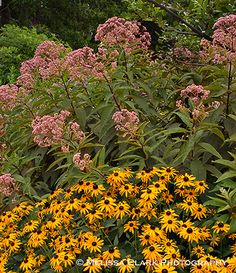 Already have the Rudbeckia- and was considering Joe Pye Weed for the spot.  This is convincing.