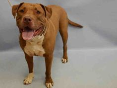 Manhattan Center JALAPENO – A1043506 MALE, RED / WHITE, AM PIT BULL TER / AMERICAN STAFF, 3 yrs STRAY – STRAY WAIT, HOLD FOR ID Reason STRAY Intake condition EXAM REQ Intake Date 07/10/2015