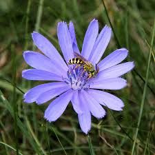 Image result for chicory