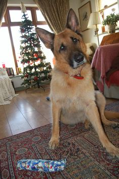 Pet sitter required for spoilt German Shepherd, terrier,and two cats in County Clare