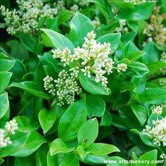 A versatile shrub with lustrous, deep green evergreen foliage on a very compact, mounding form. An excellent choice for hedges, foundation plantings and containers. Full sun. Slow growing to 4 ft. tall, 3 to 4 ft. wide. Cutting grown.