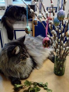Maine Coon Kater Spirit und seine Schwester Mystery bewachen den Osterbaum Mystery, Cats, Animals, Arts And Crafts, Gatos, Animales, Animaux, Animal, Cat