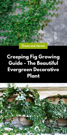 Creeping Fig Growing & Care Guide - The Beautiful Evergreen Decorative Plant In this article, we're Fig Leaf Tree, Fig Leaves, Fig Plant Indoor, Indoor Plants, Fig Smoothie, Fig Drawing, Fig Dessert, Ficus Pumila, Fiddle Leaf Fig