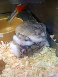 Dwarf Hamster stack. @Jaclyn Booton Booton Booton Ponish this reminds me of you with your dwarf hamster in elementary! lol!! これ箱に詰まってたん?