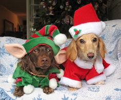 Christmas Dogs in their Outfits!