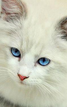 =^.^= White Kitty with Stunning Blue Eyes - http://www.shop2impress.co.uk/petworld/petblog/white-kitty-with-stunning-blue-eyes/
