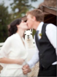 #22 of the Most Insanely Funny Animal Photobombs. #22 of #22 - And They Lived Happily Alpaca-After…