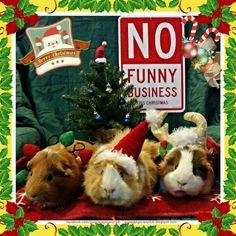 Merry Christmas Piggies