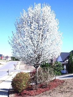 The Chanticleer callery pear, a great flowering pear choice.