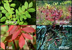 Spring, Summer, Fall, and Winter Poison Sumac pictures. Nasty stuff for hikers and campers