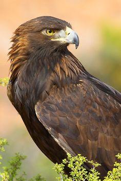 birds of a feather — golden eagle (photo by grguy) Pretty Birds, Beautiful Birds, Animals Beautiful, Beautiful Pictures, All Birds, Birds Of Prey, Types Of Eagles, Golden Eagle, Big Bird