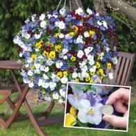 Pansy Balconita is a great new pansy bedding plant Pansies, Seeds, Bedding, Garden, Flowers, Plants, Collection, Garten, Florals