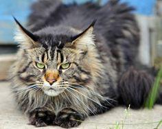 Descubre la raza de gato Maine Coon, ¡te va a encantar!