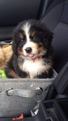 Terrific Totally Free bernese mountain dogs and baby Concepts Over a long time, the particular Bernese Huge batch Pet dog is a building block with town lifetime in S Cute Baby Animals, Animals And Pets, Funny Animals, Cute Dogs And Puppies, I Love Dogs, Doggies, Beautiful Dogs, Animals Beautiful, Mountain Dogs
