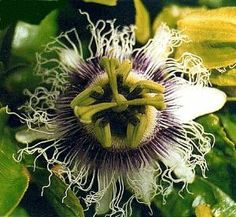 Yellow Passion Fruit 15 Seeds - Passiflora flavicarpa by Hirts: Seed; Vines & Groundcovers. $4.49. The Yellow Passion Fruit has a slightly larger fruit, with bright yellow skin. The Yellow Passion Fruit Vine is a vigorous vine, often growing over 20ft in a single year. Fertilize regularly using a soluble house plant food. Used as a flavoring in drinks, desserts, sauces, and many other foods. 15 Seeds. The Yellow Passion Fruit has a slightly larger fruit, with bright yel...