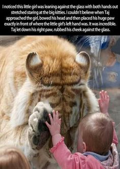 This is so adorable,especially since Taj has both eyes closed while pressed against the glass and like regular cats that's how tigers display trust.