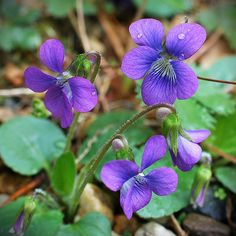 wild violets - my very favorite of all!