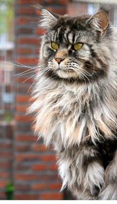 """Norwegian Forest Cats"" - gorgeous, gregarious and very sweet. This looks soo much like tinker bell!"