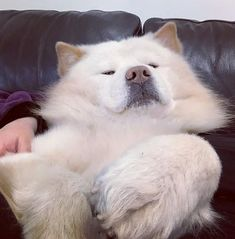 14 Cheerful Chow Chow Pictures Proving That Coronavirus Quarantine Can Be Spent With Positive | Page 2 of 3 | PetPress Chow Chow Dogs, The Big Boss, Funny Games, Good Movies, Best Dogs, Husky, Labrador Retriever, Cheer, Positivity