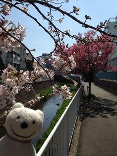クマ散歩:大岡川を品行方正なクマが上る9 (中里-最戸) The Bear took a walk up the Ooka River!♪☆(^O^)/