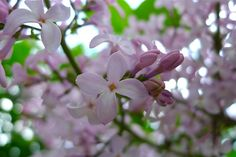 Lilacs - one of my favorites!