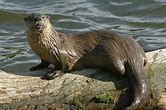 Image result for north american river otter