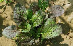 Asia Salat Red Giant Seedball