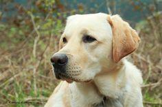 Labrador Retriever - Leif  2 Jahre 5 Monate alt