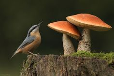 nuthatch with matching fungi Wild Mushrooms, Stuffed Mushrooms, Mushroom Fungi, Belleza Natural, Fauna, Science And Nature, Natural World, Bird Feathers, Pigeon