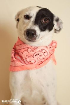 ADOPTED - Calypso - URGENT - City of Corsicana Animal Shelter, Corsicana, Texas - ADOPT OR FOSTER - 1 year old Female Terrier Mix - Calypso is a beautiful terrier mix that was found as a stray in Corsicana. She is great with her kennel mate Ari and is so very sweet. She is learning to walk on a leash and is already microchipped. Calypso is ready to leave her life on the streets behind and find her perfect family!
